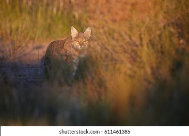 Close up, African Wildcat, Felis silvestris lybica on red sand of Kalahari,lit by colorful morning sun, staring directly at camera. Wildlife photography, Kalahari desert in rainy season, South Africa.