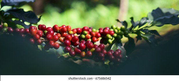 Close up, Arabica coffee berry ripening on tree, coffee beans in North of thailand, Blur background.