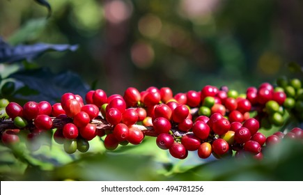 Close up, Arabica coffee berrys ripening on tree, coffee beans in North of thailand, Blur background.