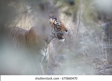 Close up, artistic portrait of wild Bengal tiger, Panthera tigris, gazing at prey through dry forest partly illuminated by sun. Tiger in its natural environment. Ranthambore  park, Rajasthan, India.