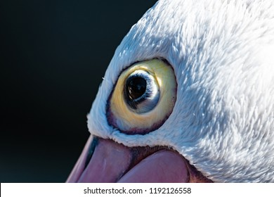 Close up[ of an Australian pelican's eye (Pelecanus conspicillatus)
