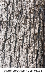 Close up, bark of a black walnut tree.