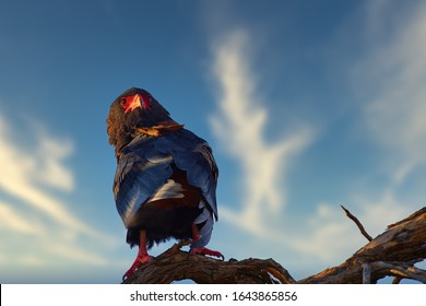 Close up, Bateleur, Terathopius ecaudatus, colorful adult eagle with red colored face, perched on branch against sunset sky. African wildlife experience during camping in Kgalagadi park, Botswana.