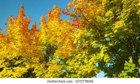 CLOSE UP: Beautiful long autumn colored tree branches sway in the gentle breeze blowing through the idyllic park. Scenic shot of deciduous tree canopies changing their colors on a sunny day in fall.