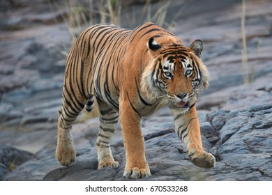 Close up, big male of Bengal tiger, Panthera tigris, walking on the rock. Wild tiger from front view, staring directly at camera. Indian wildlife, Ranthambore, India.