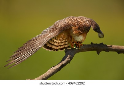 Close up, bird of prey with outstretched wings, Red-footed Falcon, Falco vespertinus, feeding on big green grasshopper, perched on branch in the nice evening light against abstract green background.