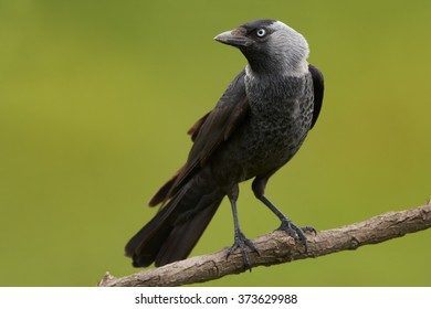 Close up, black and grey bird with light blou eye, from crow family, Corvus monedula, Western jackdaw, perched on diagonal branch, staring directly at camera, side view. Green blurry background.
