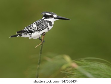 Close up, black and white bird, Pied Kingfisher, Ceryle rudis perched on papyrus stalk in wind, isolated against green background. River Nile, Uganda.