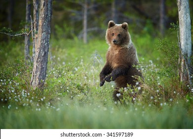 Close up, Brown Bear, Ursus arctos, cub standing in blossoming grass carefully monitors surroundings in colorful early morning light in taiga forest, Russia.