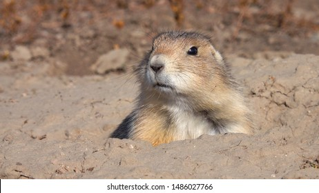 CLOSE UP: Brown wild prairie dog comes out of his hole home and starts nibbling on dry grass on sunny day. Cute prairie dog in its grassland habitat in Badlands National Park in South Dakota, USA