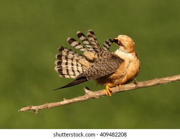 Close up, colorful small falcon, Red-footed Falcon, Falco vespertinus, female cleans its tail feathers on branch in the warm, evening light against abstract green background. Europe, Hungary.