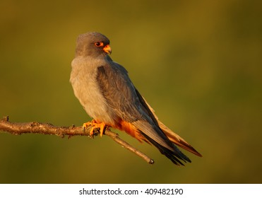 Close up, colorful small raptor, Red-footed Falcon, Falco vespertinus, male perched on branch in the warm, evening light against abstract green background. Europe, Hungary.