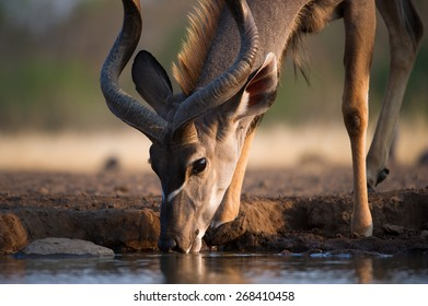 A close up, cropped, colour photo of a kudu bull drinking at a waterhole.