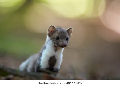 Close up, curious beech marten. Small, agile predator, Stone Marten, Martes foina, in typical european forest environment, staring directly at camera against colorful bokeh background.Czech wildlife.