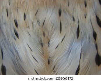 Close up, detail of feathers american kestrel male. falco sparverius. Macro  chest.