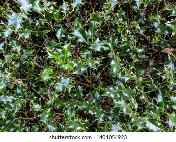 Close up/ detail of leafy plant - Common Holly