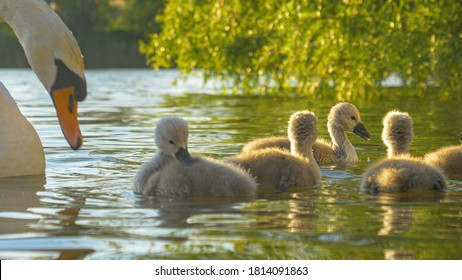 CLOSE UP, DOF: Adorable swan chicks dip their beaks and fluffy heads into the murky pond while feeding on a sunny spring evening. Cute little furry swan babies feed near their elegant white mother.