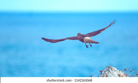 CLOSE UP, DOF: Beautiful brown feathered bird of prey soaring into the endless blue sky to start its daily hunt. Large untamed buzzard takes off a white rock and into the ruthless Chilean wilderness.