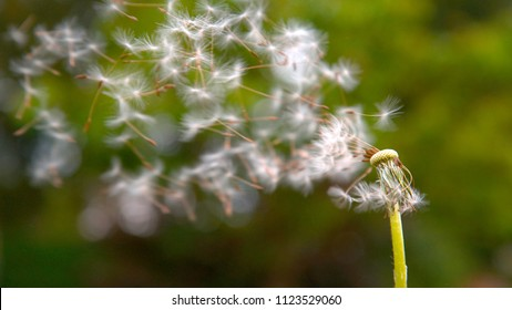 CLOSE UP, DOF: Fluffy white blowball gets blown away into the green countryside by the strong spring winds. Cinematic shot of breeze sweeping away a pretty dandelion blossom and scattering the seeds.