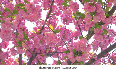 CLOSE UP, DOF: Golden spring sunbeams shine on the pink blossoms budding on the delicate branches and twigs of an apple tree. Gorgeous pink flowers of a budding tree open up on a sunny day in spring - Shutterstock ID 1925561504