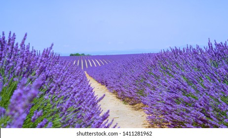 CLOSE UP, DOF: Picturesque shot of long rows of vibrant violet lavender shrubs covering the vast rural land in the quiet region of Provence. Colorful lavender covers picturesque Provence in summer