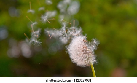 CLOSE UP, DOF: Strong summer wind blows away all the fuzzy dandelion seeds off the green stem and across the tranquil countryside. Beautiful white blowball gets swept away by the gentle spring breeze.