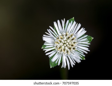 Close up, Eclipta prostrata (False daisy, Whitehead) in the garden with black background.