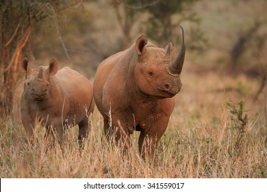 Close up, endangered Black rhinoceros, Diceros bicornis, direct view on mother with calf on dry savanna lit by setting sun against blurred trees in background, colorful evening light. KwaZulu Natal.