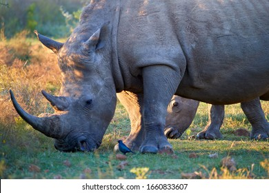 Close up, endangered Southern white rhinoceros, Ceratotherium simum, direct view on mother with calf on savanna, lit by colorful setting sun. Traveling Pilanesberg national park, South Africa.