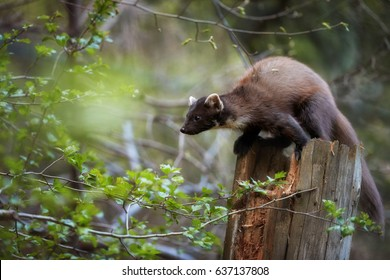 Close Up, European pine marten, Martes martes, slender forest beast preparing for jump from top of the tree trunk against blurred background. European forest carnivoran in typical spruce environment.