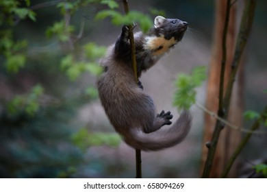 Close Up, European pine marten, Martes martes,  climbing along the thin branch against blurred background. European slender, forest carnivoran in typical spruce environment. Europe.