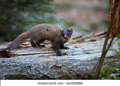 Close Up, European pine marten, Martes martes,  forest beast  on  tree trunk against blurred, forest  background. European forest carnivoran in typical spruce environment. Europe, Czechia.