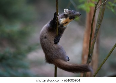 Close Up, European pine marten, Martes martes, against blurred background. European slender, forest carnivoran in typical spruce environment. demonstrates climbing skills. Europe.