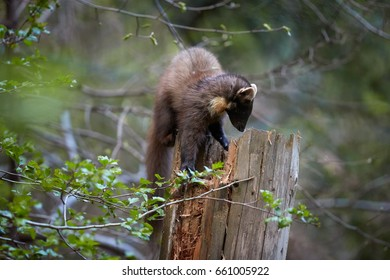 Close Up, European pine marten, Martes martes, slender forest beast looking for prey on top of the tree trunk against blurred background. European forest carnivoran in typical spruce environment.