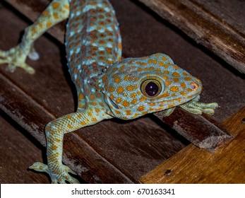 Close up. Gecko.