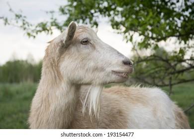 Close up. Goat on pasture near a bush.