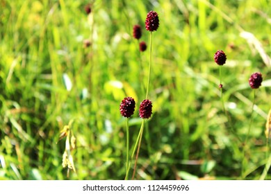 Close up: Great burnet (sanguisorba officinalis) on a meadow in the Alpine Upland, Allgäu, Bavaria