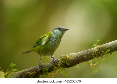 Close up, isolated Black-capped Tanager, Tangara heinei. Bright green bird, female, perched on mossy twig in ecuadorian  rainforest. West andean slopes,Ecuador.