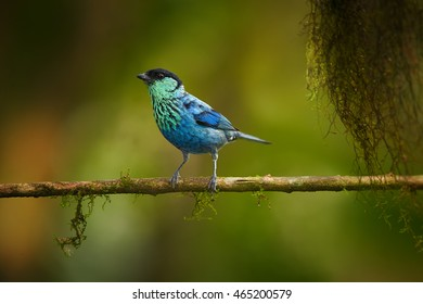 Close up, isolated Black-capped Tanager, Tangara heinei. Bright blue bird, male, perched on mossy twig in ecuadorian  rainforest. West andean slopes,Ecuador.