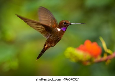 Close up, isolated colombian brown and violet hummingbird, rare Brown Inca, Coeligena wilsoni, hovering next to bright orange flower of Immortelle tree in rainforest of Tatama parc area, Colombia.
