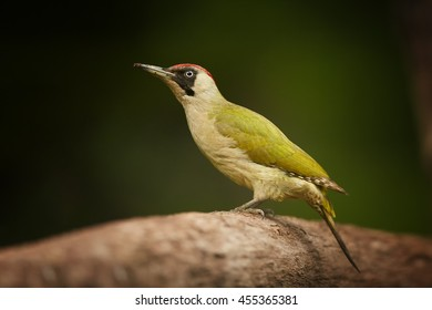 Close up, isolated, colorful bird Picus viridis,  Green woodpecker, female, perched on horizontal trunk against dark green background. Europe,Czech republic.