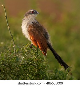 Close up, an isolated female of african bird, Centropus superciliosus burchelli, White-browed Coucal, perched on the top of bush on the  Nile river bank. Murchison Falls, Uganda, Africa.