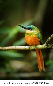 Close up, isolated, metallic green, tropical bird, Galbula ruficauda, Rufous-tailed Jacamar, perched on branch in bamboo forest. Vertical image. Tobago, Main ridge forest reserve. Trinidad and Tobago.