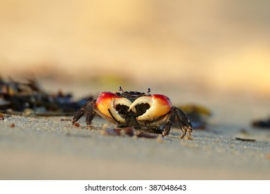Close up, isolated red  crab staring directly at camera on the beach  in colorful, late afternoon light. Zanzibar Island, Africa