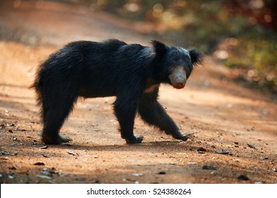 Close up, isolated, wild sloth bear, Melursus ursinus, crossing the road of Wilpattu national park, Sri Lanka. Sloth bear staring directly at camera, wildlife photo.