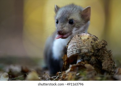 Close up, juvenile beech marten. Small, agile predator, Stone Marten, Martes foina, in typical european forest environment, with tongue out, sniffs to the mushroom against colorfful bokeh background.
