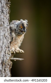 Close up, juvenile Long-eared Owl, Asio otus, just after leaving the nest in late summer, perched on spruce branch in defense pose, peeking from behind a tree. Juvenile plumage, wildlife photo.