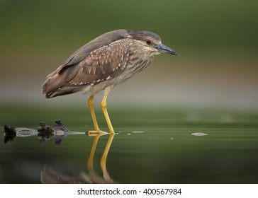 Close up, juvenile water bird Black-crowned Night Heron, Nycticorax nycticorax, standing in the shallow water, against blurred background. Photographed from water level.