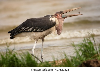 Close up, large scavenger bird, Marabou stork, Leptoptilos crumenifer with prey in opened huge beak.  Wildlife photography, side view, Victoria lake. Traveling Uganda.