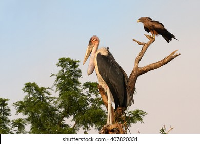Close up, large wading bird Marabou stork, Leptoptilos crumenifer preched with Black Kite, Milvus migrans on the same tree against colorful african sky in background. Uganda.